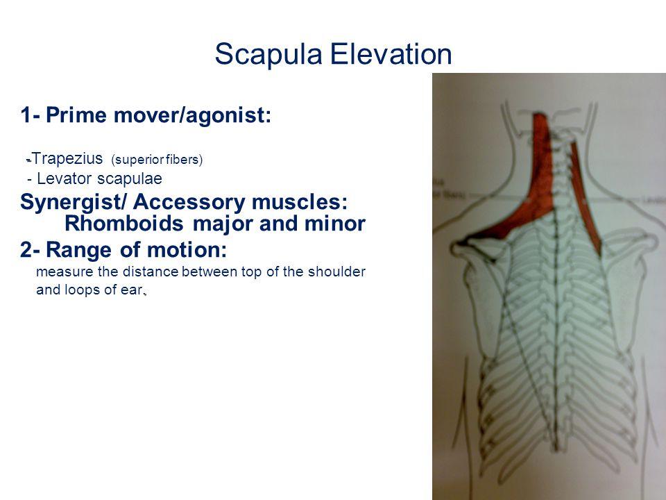 Scapula Elevation 3- Fixation : a.flexor muscles of cervical spine..
