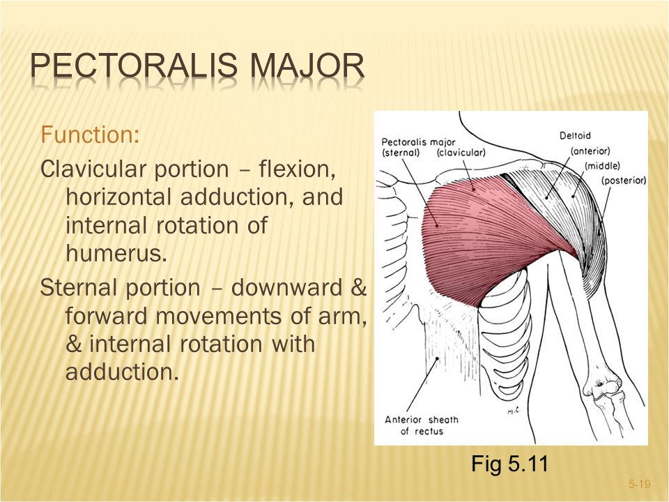5-19 Function: Clavicular portion – flexion, horizontal adduction, and internal rotation of humerus. Sternal portion – downward & forward movements of