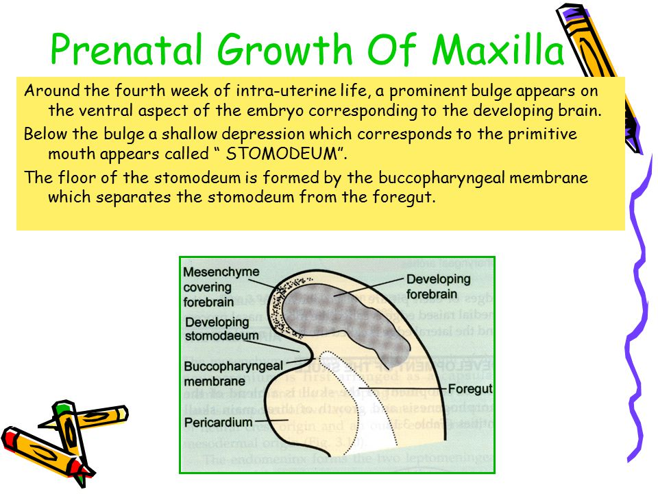 Prenatal Growth Of Maxilla Around the fourth week of intra-uterine life, a prominent bulge appears on the ventral aspect of the embryo corresponding t
