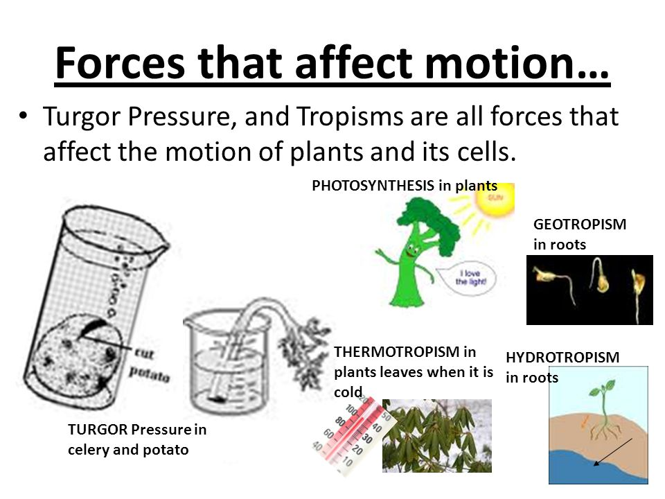 Forces that affect motion… Turgor Pressure, and Tropisms are all forces that affect the motion of plants and its cells. PHOTOSYNTHESIS in plants THERM