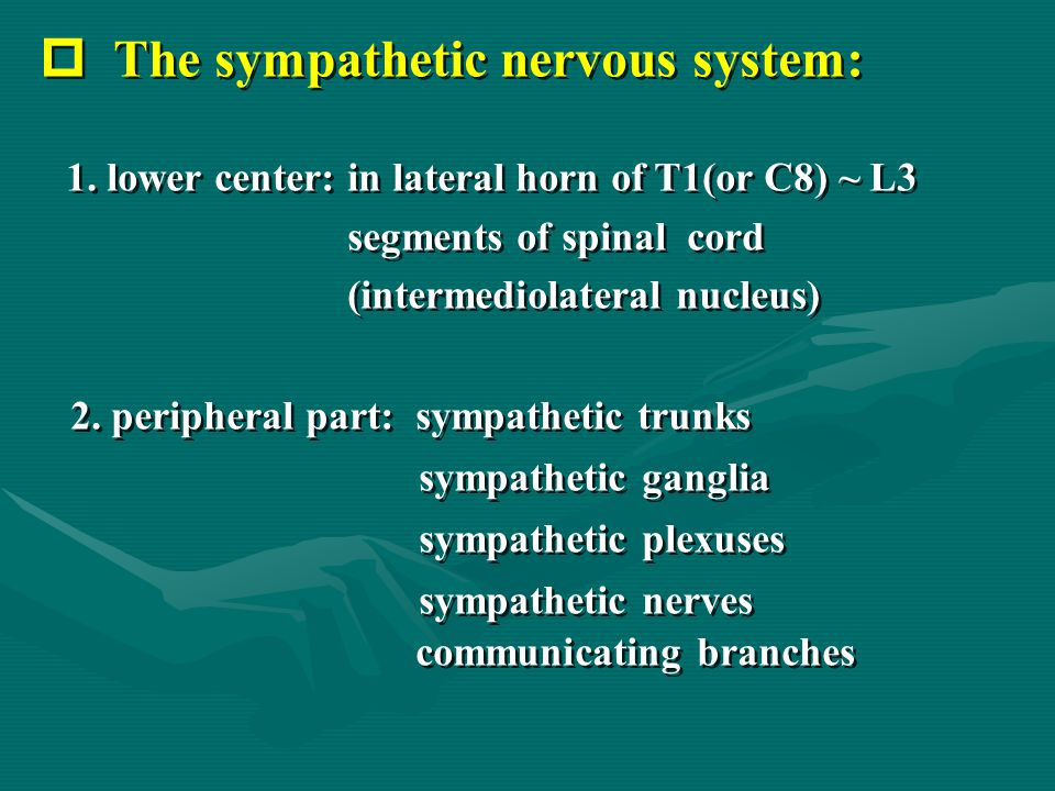  The sympathetic nervous system: 1. lower center: in lateral horn of T1(or C8) ~ L3 segments of spinal cord (intermediolateral nucleus) 2. peripheral