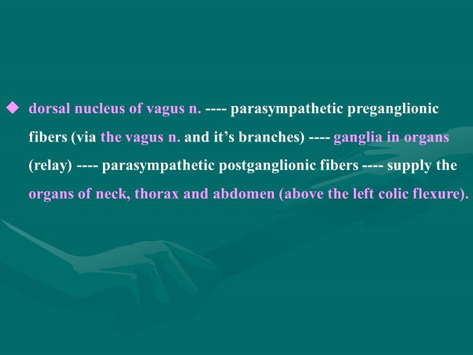  dorsal nucleus of vagus n. ---- parasympathetic preganglionic fibers (via the vagus n.
