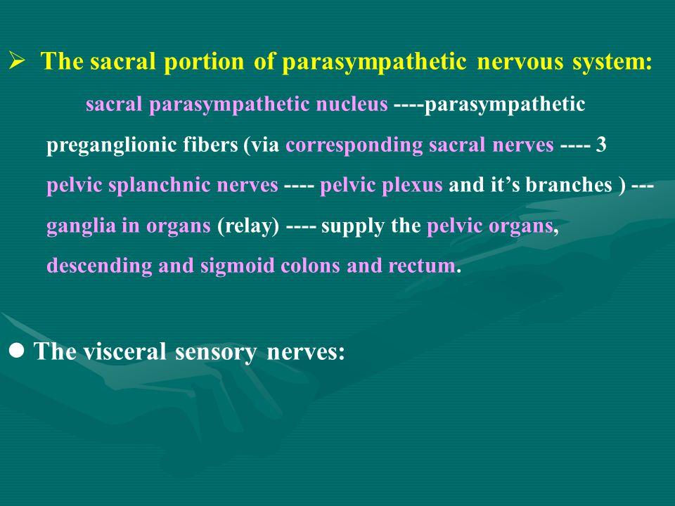  The sacral portion of parasympathetic nervous system: sacral parasympathetic nucleus ----parasympathetic preganglionic fibers (via corresponding sac
