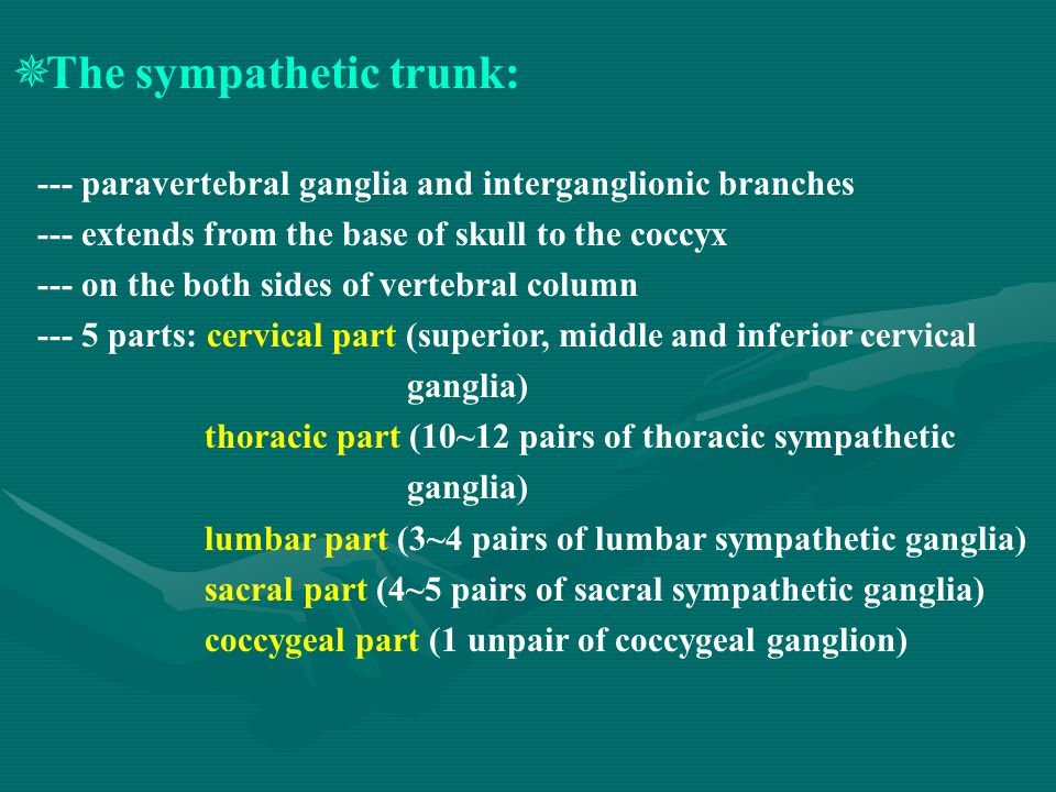  The sympathetic trunk: --- paravertebral ganglia and interganglionic branches --- extends from the base of skull to the coccyx --- on the both sides of vertebral column --- 5 parts: cervical part (superior, middle and inferior cervical ganglia) thoracic part (10~12 pairs of thoracic sympathetic ganglia) lumbar part (3~4 pairs of lumbar sympathetic ganglia) sacral part (4~5 pairs of sacral sympathetic ganglia) coccygeal part (1 unpair of coccygeal ganglion)