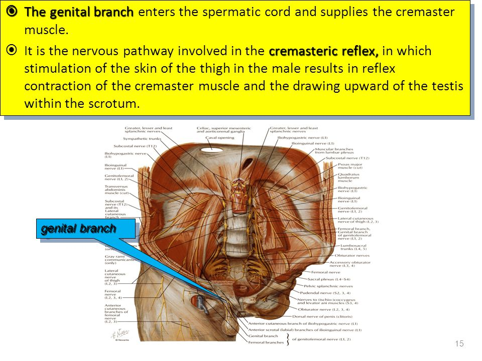  The genital branch  The genital branch enters the spermatic cord and supplies the cremaster muscle. cremasteric reflex,  It is the nervous pathway