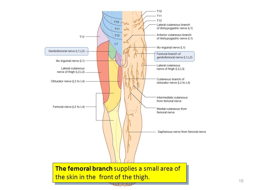 The femoral branch supplies a small area of the skin in the front of the thigh. 16