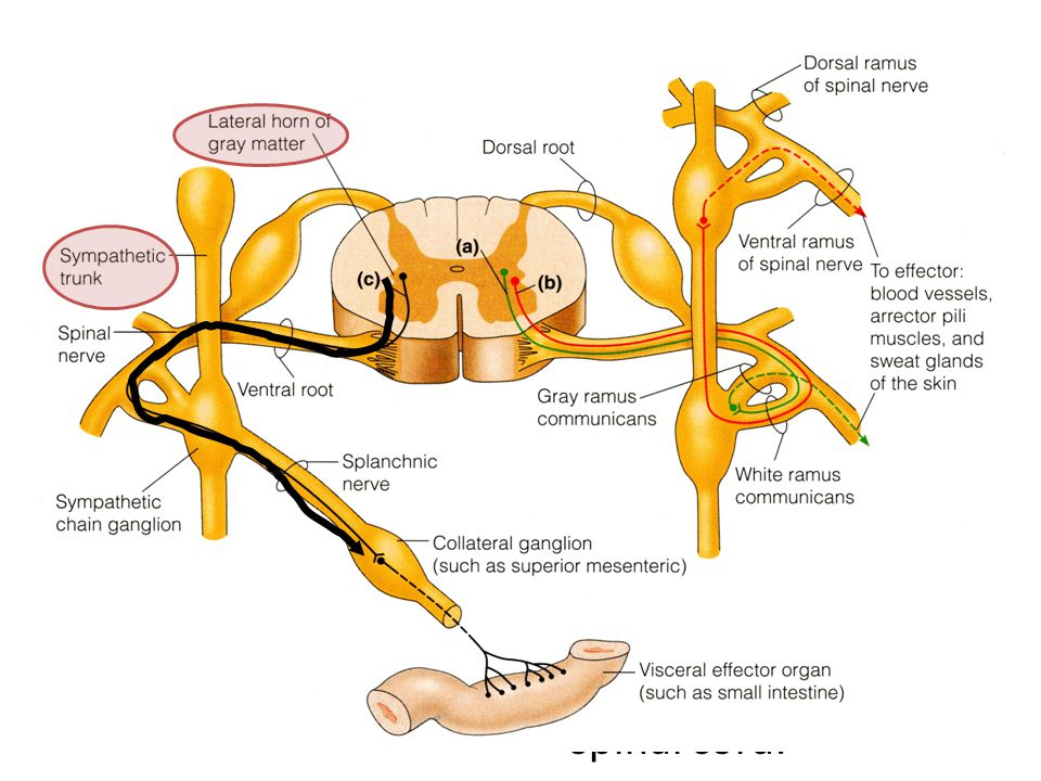 22 SYMPATHETIC DIVISION Preganglionic sympathetic neurones are located exclusively in the thoracic and upper two or three lumbar segments of the spina