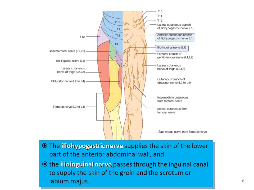 iliohypogastric nerve  The iliohypogastric nerve supplies the skin of the lower part of the anterior abdominal wall, and ilioinguinal nerve  the ili