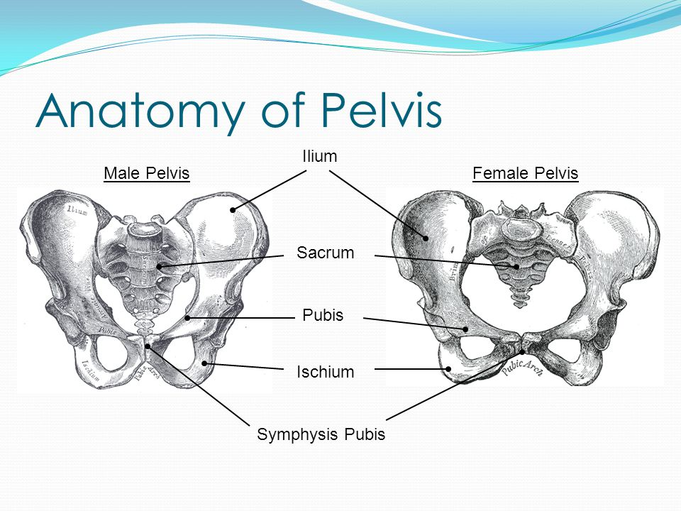 Anatomy Around Pelvis Organs near pelvis Parts of digestive system Reproductive organs Bladder and urethra Blood vessels run through and around Right and left iliac arteries from off aorta Right and left iliac veins returning from legs Blood vessels supplying pelvis and tissues around pelvis