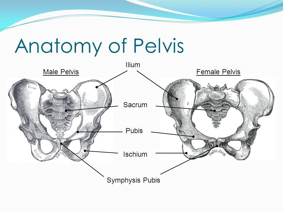 Anatomy of Pelvis Ilium Sacrum Male PelvisFemale Pelvis Pubis Ischium Symphysis Pubis