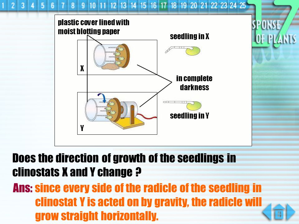 Does the direction of growth of the seedlings in clinostats X and Y change .
