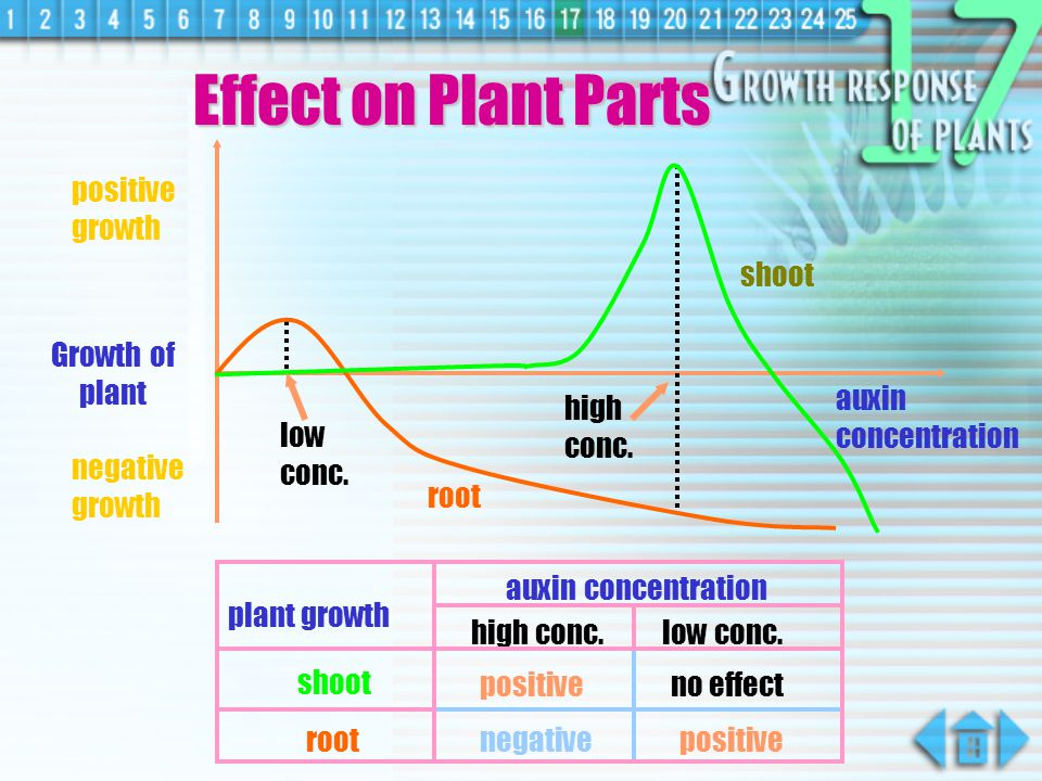 Auxins  commonest plant hormones  regulate growth & other physiological processes in plants  produced by root tip / shoot tip  they affect the elongation region of the tip