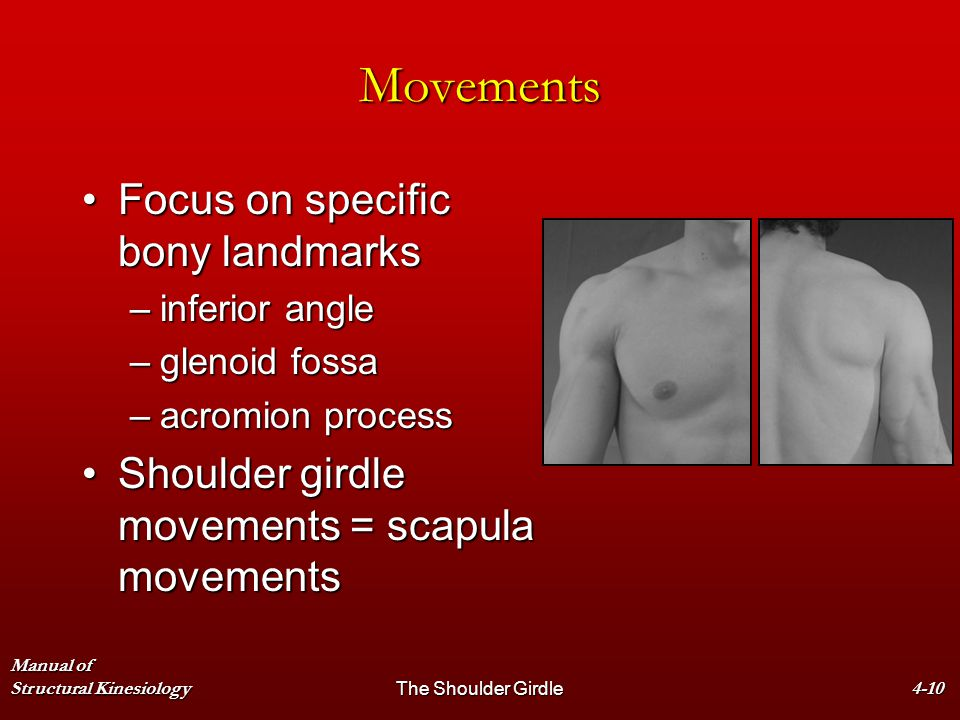 Manual of Structural KinesiologyThe Shoulder Girdle4-10 Movements Focus on specific bony landmarksFocus on specific bony landmarks –inferior angle –gl