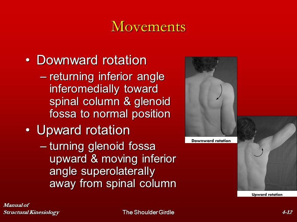 Manual of Structural KinesiologyThe Shoulder Girdle4-12 Movements Downward rotationDownward rotation –returning inferior angle inferomedially toward s