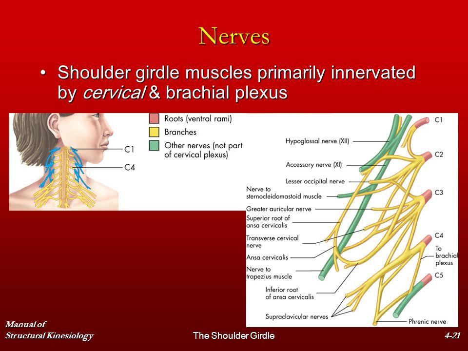 Manual of Structural KinesiologyThe Shoulder Girdle4-21 Nerves Shoulder girdle muscles primarily innervated by cervical & brachial plexusShoulder gird