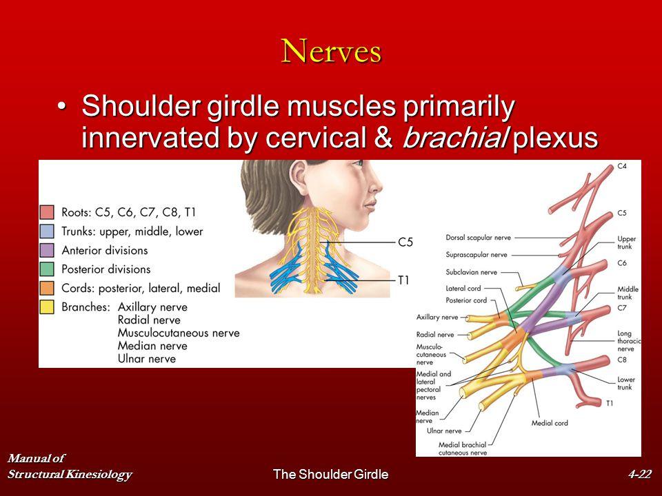 Manual of Structural KinesiologyThe Shoulder Girdle4-22 Nerves Shoulder girdle muscles primarily innervated by cervical & brachial plexusShoulder gird