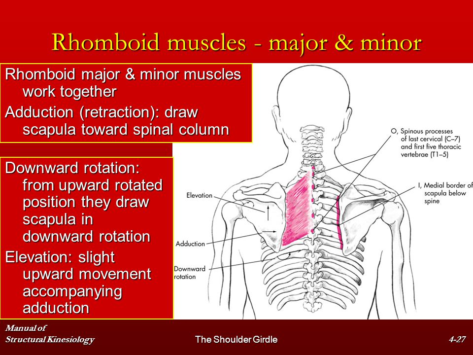 Manual of Structural KinesiologyThe Shoulder Girdle4-27 Rhomboid muscles - major & minor Rhomboid major & minor muscles work together Adduction (retra