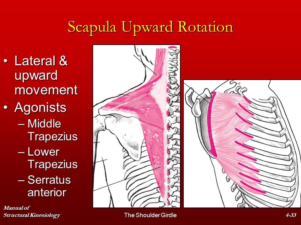 Manual of Structural KinesiologyThe Shoulder Girdle4-33 Scapula Upward Rotation Lateral & upward movementLateral & upward movement AgonistsAgonists –M