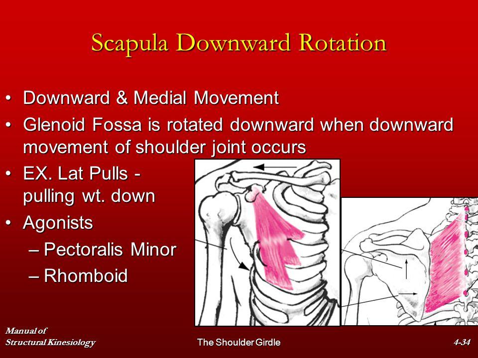 Manual of Structural KinesiologyThe Shoulder Girdle4-34 Scapula Downward Rotation Downward & Medial MovementDownward & Medial Movement Glenoid Fossa i