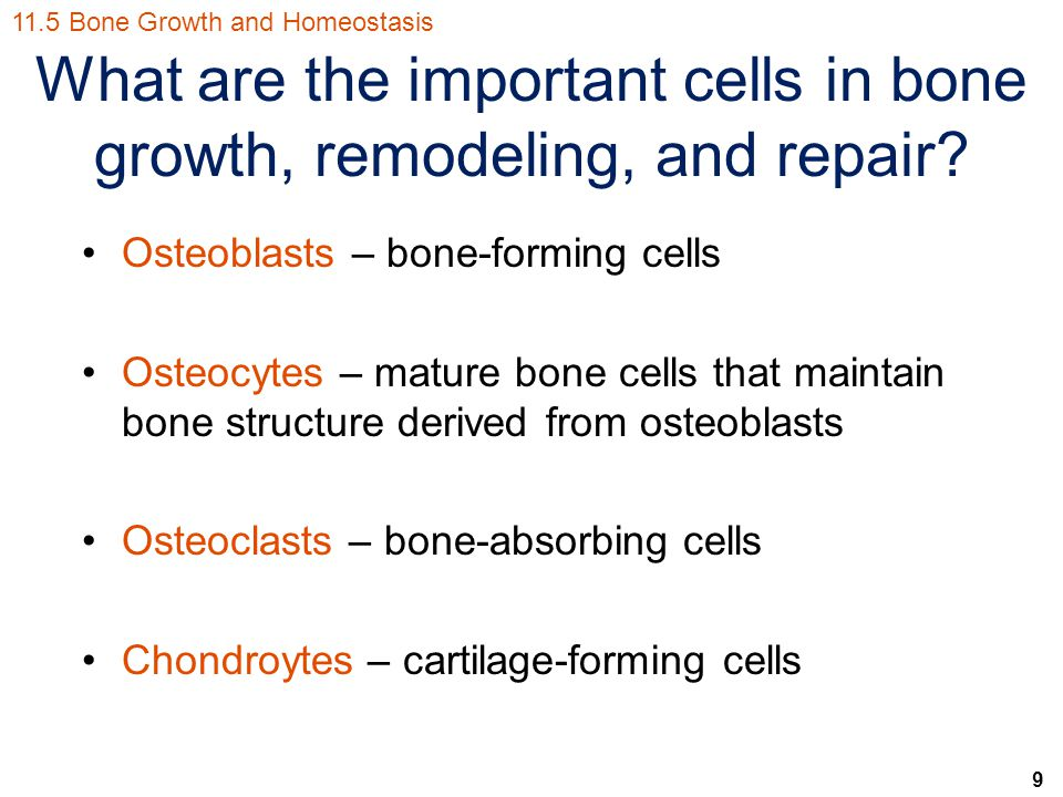 9 What are the important cells in bone growth, remodeling, and repair.