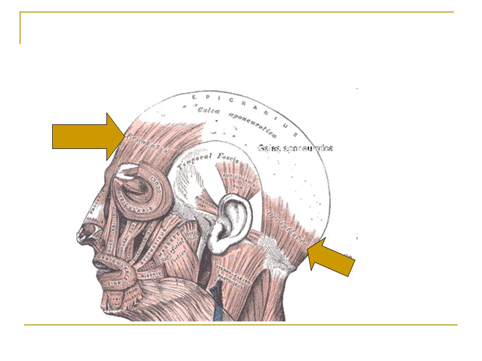 Medial Pterigoid Origin – Sphenoid bone and maxilla Insertion – Mandible Action – elevates and protracts mandible and moves mandible from side to side