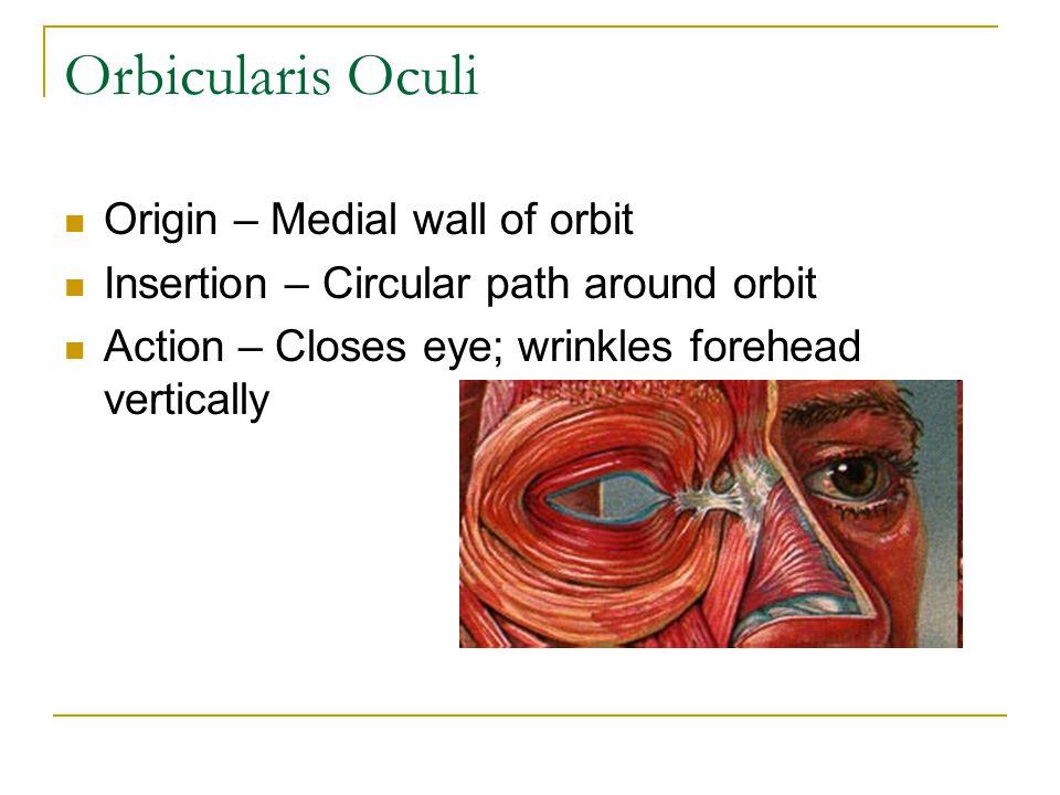 Levator Palpebrae Superioris Origin – Roof of Orbit Insertion – Skin of upper eyelid Action - Opens Eye