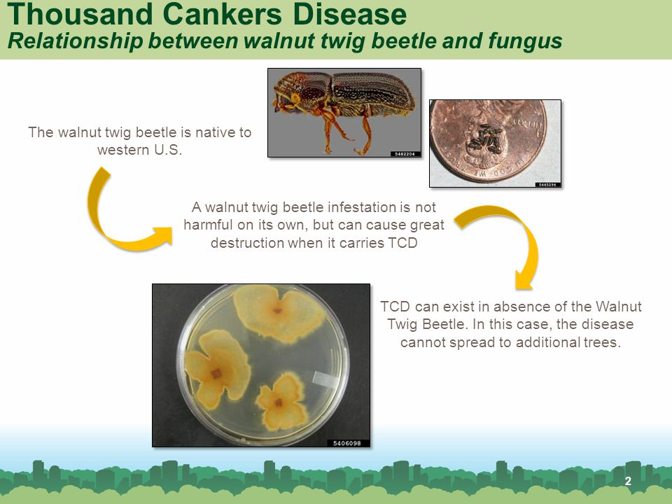 Thousand Cankers Disease Relationship between walnut twig beetle and fungus The walnut twig beetle is native to western U.S.
