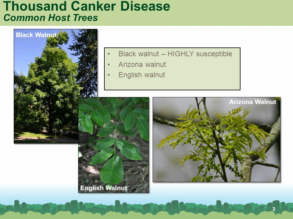 4 Thousand Canker Disease Map – Range of Gypsy Moth