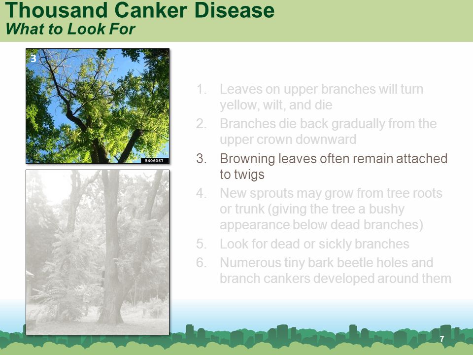 7 Thousand Canker Disease What to Look For 1.Leaves on upper branches will turn yellow, wilt, and die 2.Branches die back gradually from the upper crown downward 3.Browning leaves often remain attached to twigs 4.New sprouts may grow from tree roots or trunk (giving the tree a bushy appearance below dead branches) 5.Look for dead or sickly branches 6.Numerous tiny bark beetle holes and branch cankers developed around them 3 4