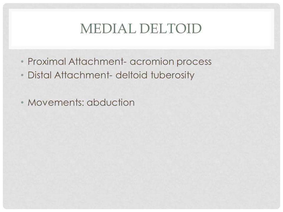 MEDIAL DELTOID Proximal Attachment- acromion process Distal Attachment- deltoid tuberosity Movements: abduction