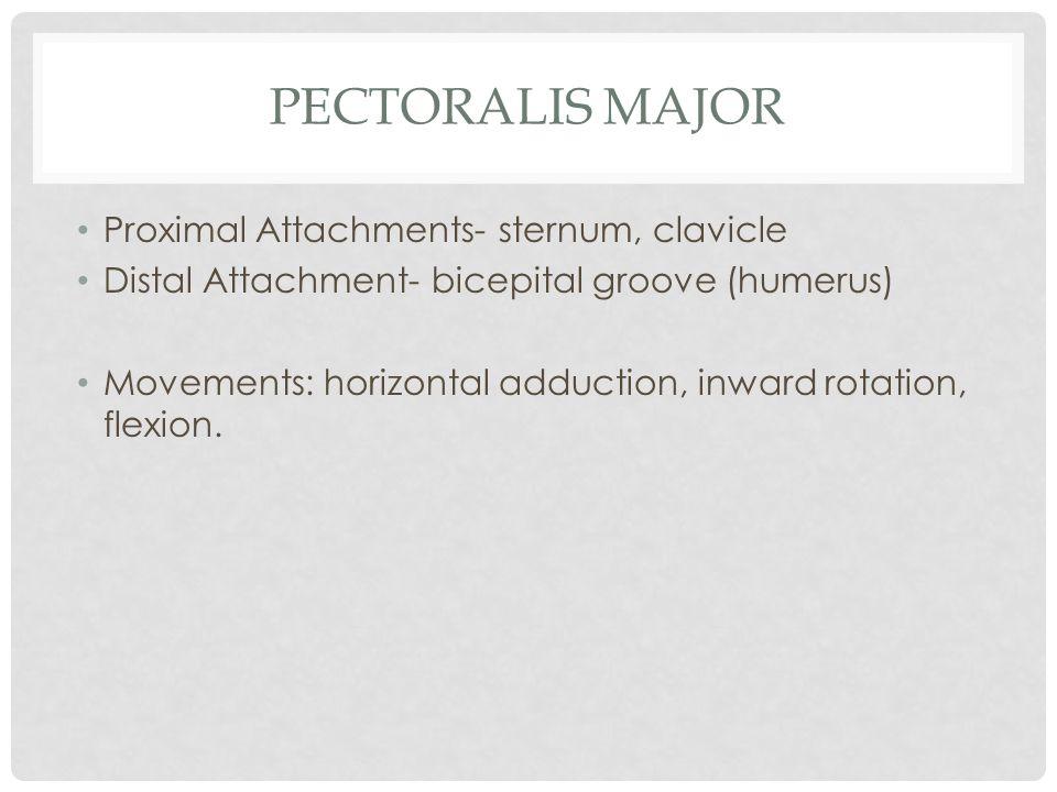 PECTORALIS MAJOR Proximal Attachments- sternum, clavicle Distal Attachment- bicepital groove (humerus) Movements: horizontal adduction, inward rotatio