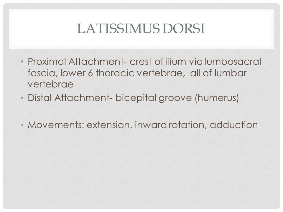 LATISSIMUS DORSI Proximal Attachment- crest of ilium via lumbosacral fascia, lower 6 thoracic vertebrae, all of lumbar vertebrae Distal Attachment- bi