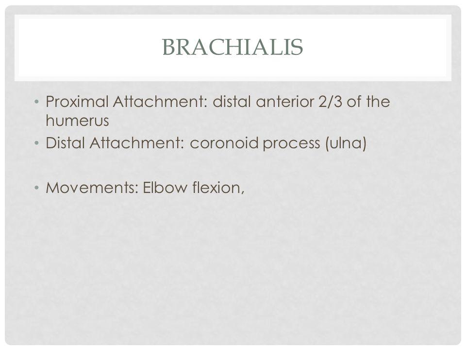 BRACHIALIS Proximal Attachment: distal anterior 2/3 of the humerus Distal Attachment: coronoid process (ulna) Movements: Elbow flexion,
