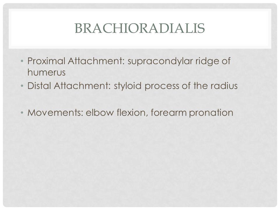 BRACHIORADIALIS Proximal Attachment: supracondylar ridge of humerus Distal Attachment: styloid process of the radius Movements: elbow flexion, forearm
