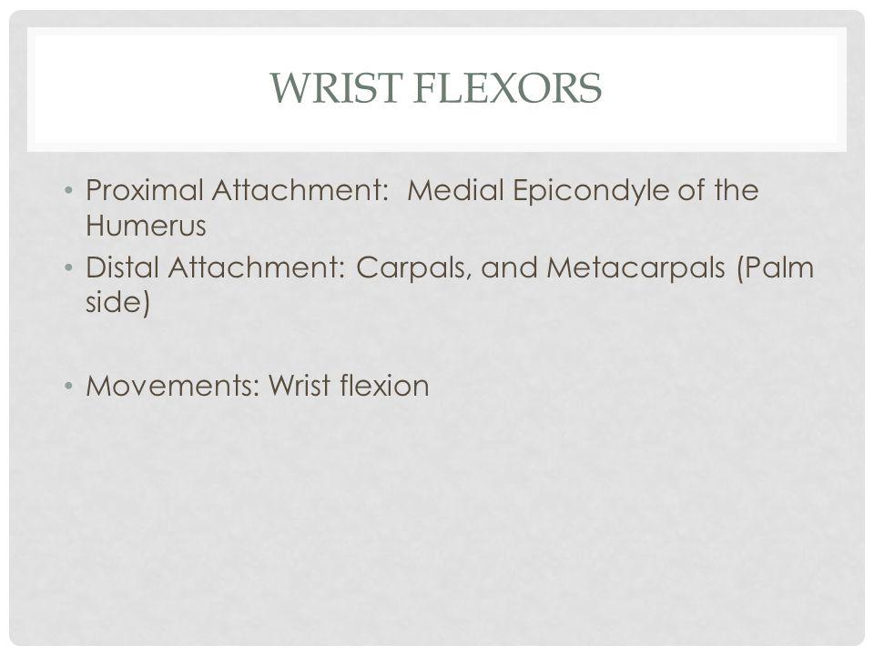 WRIST FLEXORS Proximal Attachment: Medial Epicondyle of the Humerus Distal Attachment: Carpals, and Metacarpals (Palm side) Movements: Wrist flexion