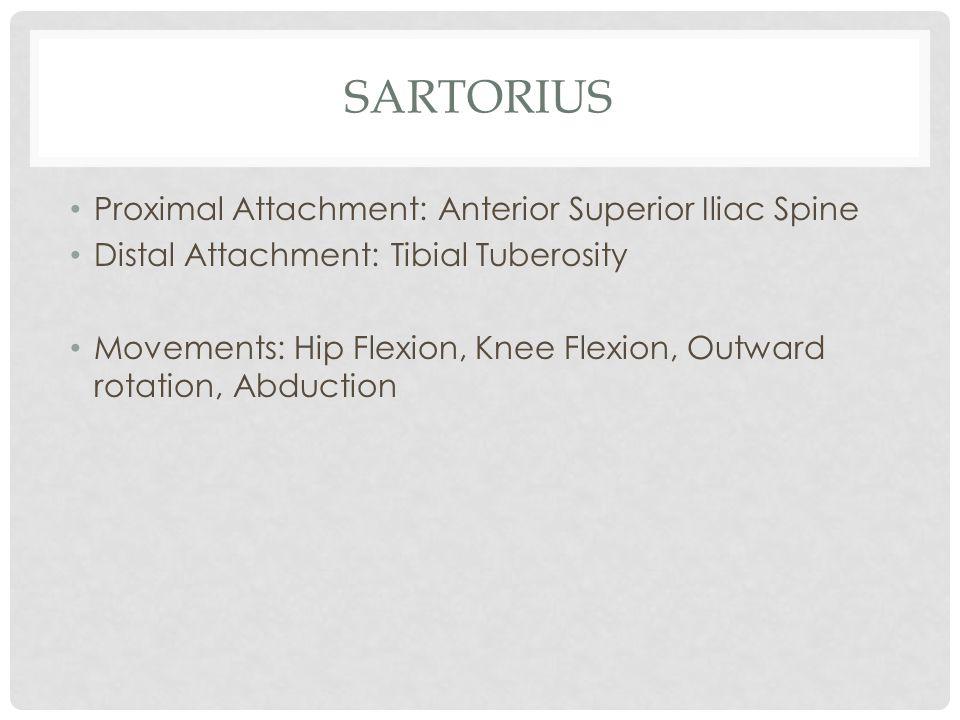 SARTORIUS Proximal Attachment: Anterior Superior Iliac Spine Distal Attachment: Tibial Tuberosity Movements: Hip Flexion, Knee Flexion, Outward rotati