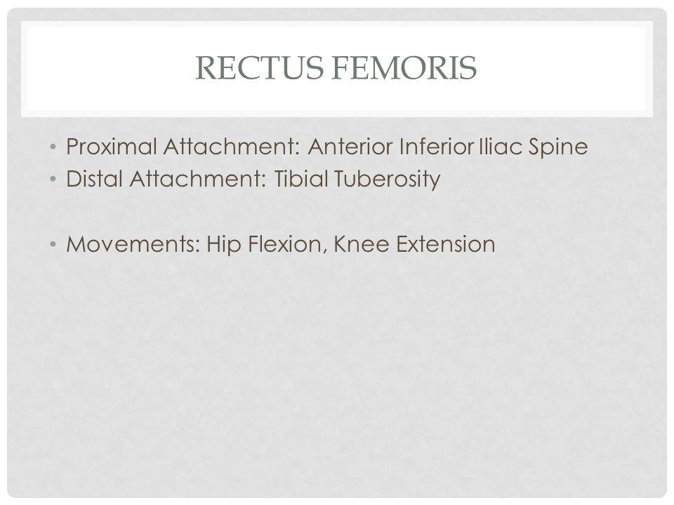 RECTUS FEMORIS Proximal Attachment: Anterior Inferior Iliac Spine Distal Attachment: Tibial Tuberosity Movements: Hip Flexion, Knee Extension