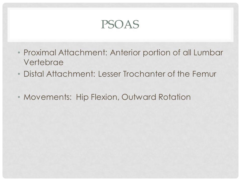 PSOAS Proximal Attachment: Anterior portion of all Lumbar Vertebrae Distal Attachment: Lesser Trochanter of the Femur Movements: Hip Flexion, Outward