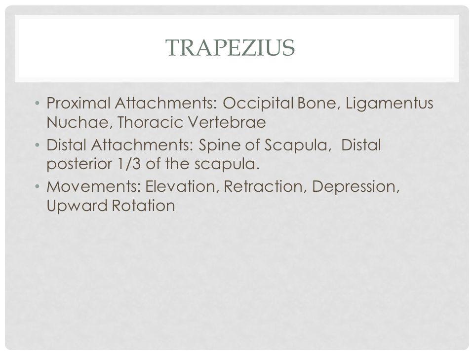 TRAPEZIUS Proximal Attachments: Occipital Bone, Ligamentus Nuchae, Thoracic Vertebrae Distal Attachments: Spine of Scapula, Distal posterior 1/3 of th