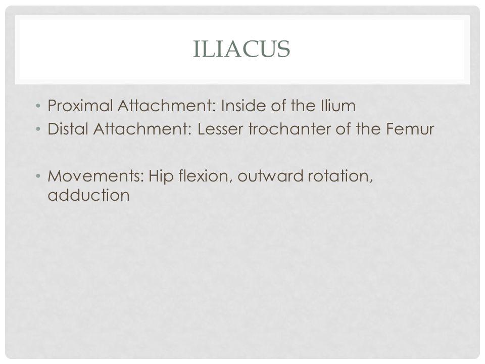 ILIACUS Proximal Attachment: Inside of the Ilium Distal Attachment: Lesser trochanter of the Femur Movements: Hip flexion, outward rotation, adduction
