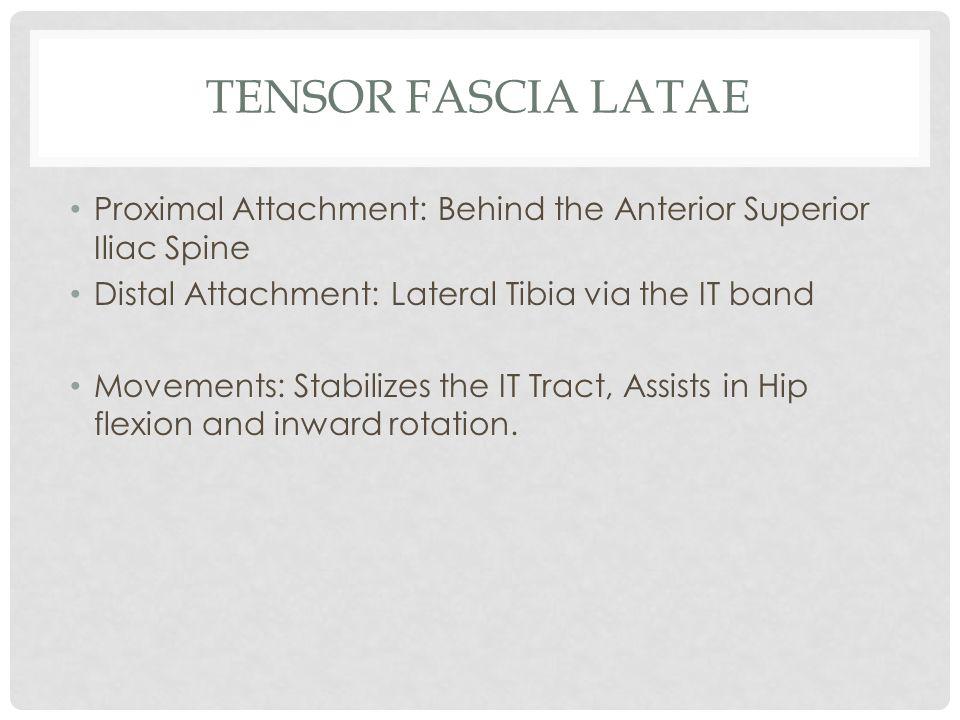 TENSOR FASCIA LATAE Proximal Attachment: Behind the Anterior Superior Iliac Spine Distal Attachment: Lateral Tibia via the IT band Movements: Stabiliz