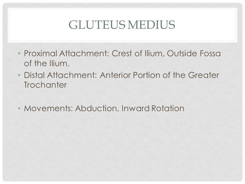 GLUTEUS MEDIUS Proximal Attachment: Crest of Ilium, Outside Fossa of the Ilium. Distal Attachment: Anterior Portion of the Greater Trochanter Movement
