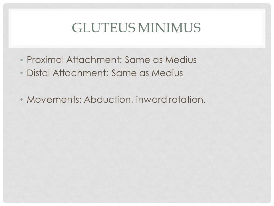 GLUTEUS MINIMUS Proximal Attachment: Same as Medius Distal Attachment: Same as Medius Movements: Abduction, inward rotation.