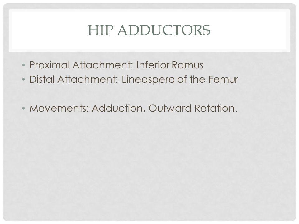 HIP ADDUCTORS Proximal Attachment: Inferior Ramus Distal Attachment: Lineaspera of the Femur Movements: Adduction, Outward Rotation.