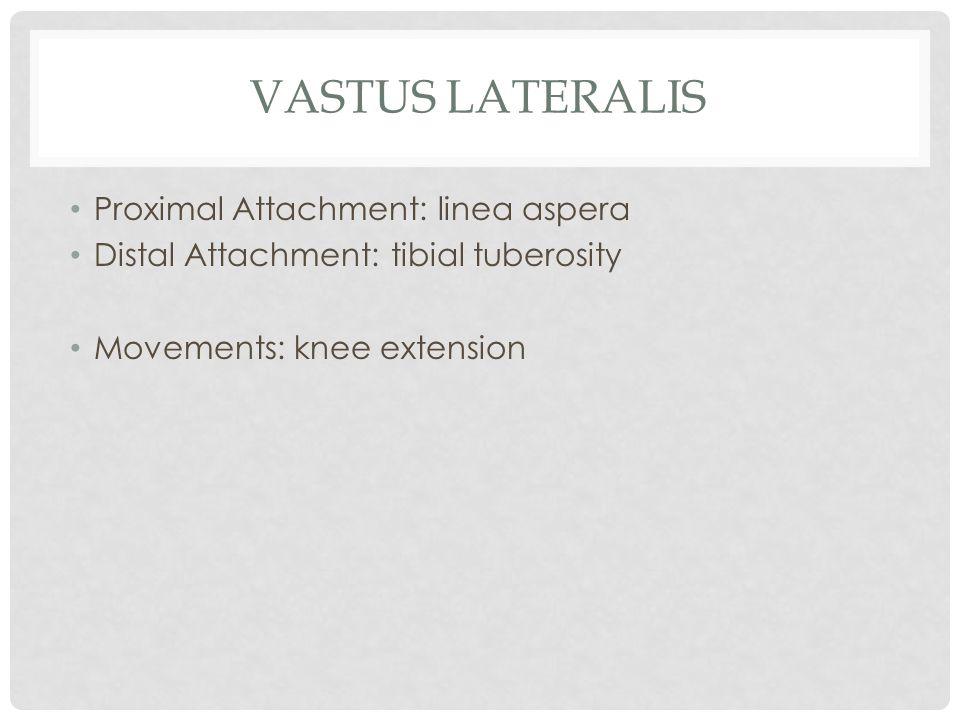 VASTUS LATERALIS Proximal Attachment: linea aspera Distal Attachment: tibial tuberosity Movements: knee extension