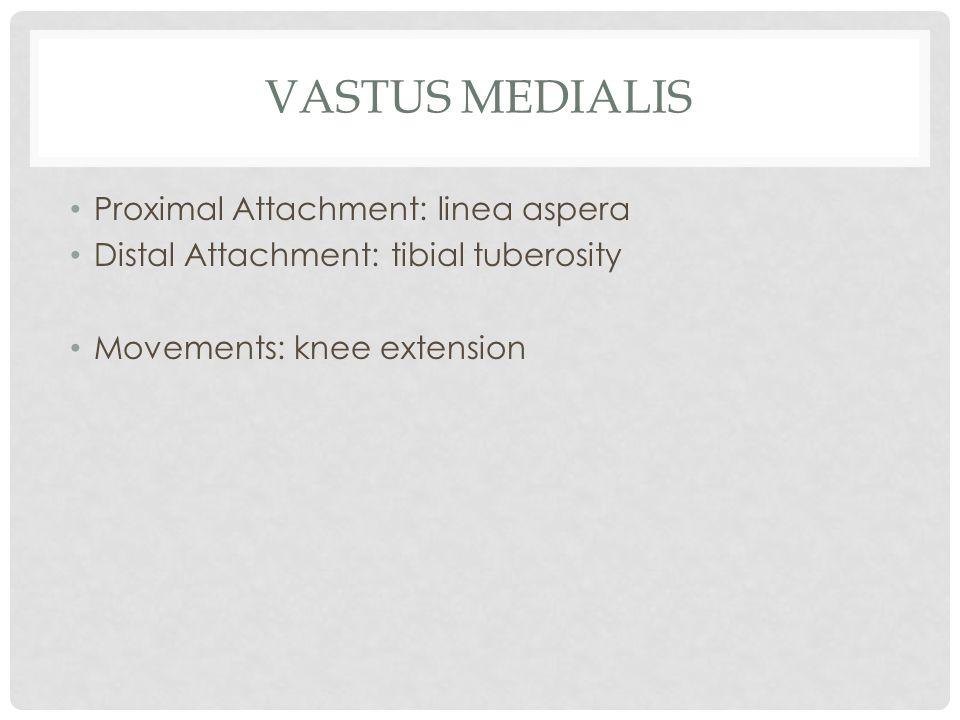 VASTUS MEDIALIS Proximal Attachment: linea aspera Distal Attachment: tibial tuberosity Movements: knee extension