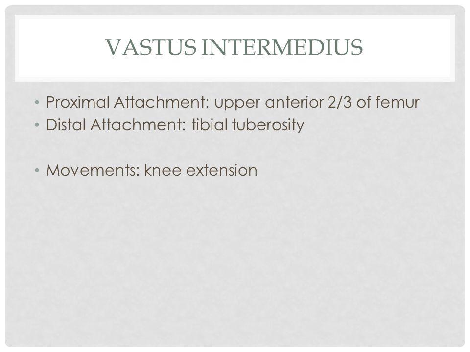 VASTUS INTERMEDIUS Proximal Attachment: upper anterior 2/3 of femur Distal Attachment: tibial tuberosity Movements: knee extension