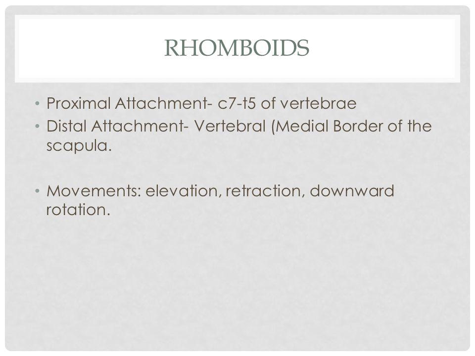 RHOMBOIDS Proximal Attachment- c7-t5 of vertebrae Distal Attachment- Vertebral (Medial Border of the scapula. Movements: elevation, retraction, downwa