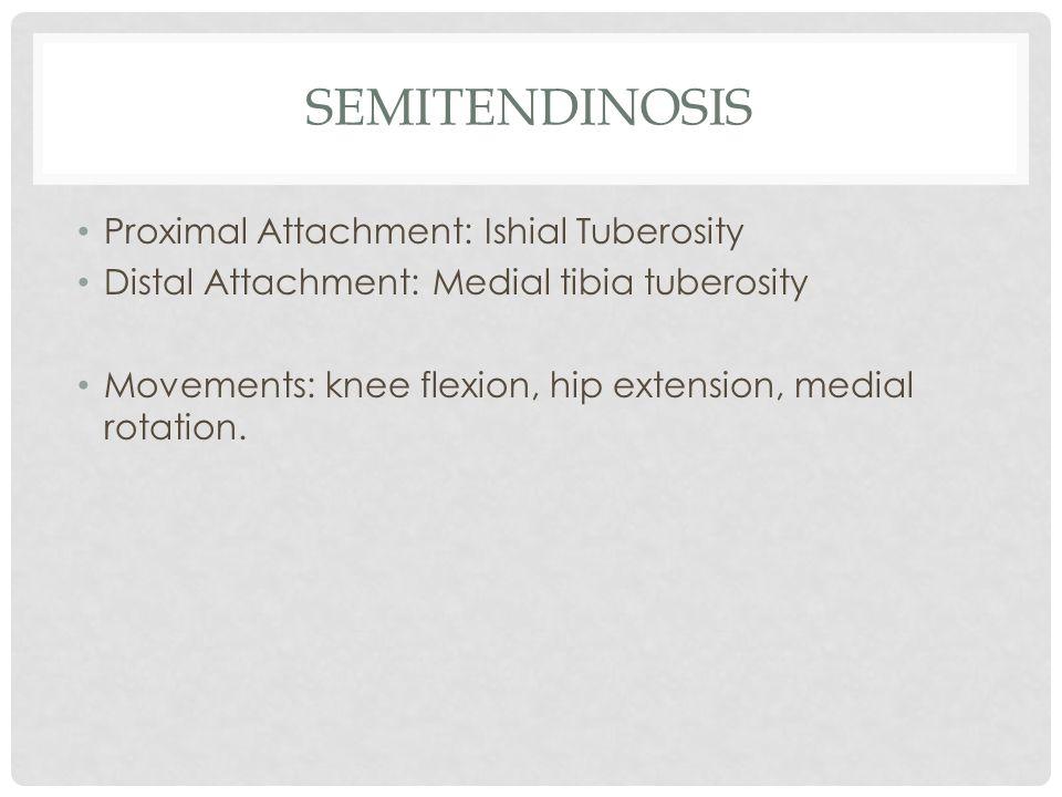 SEMITENDINOSIS Proximal Attachment: Ishial Tuberosity Distal Attachment: Medial tibia tuberosity Movements: knee flexion, hip extension, medial rotati