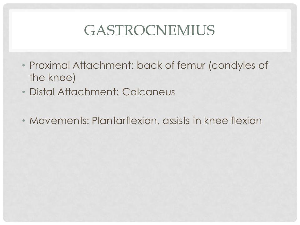 GASTROCNEMIUS Proximal Attachment: back of femur (condyles of the knee) Distal Attachment: Calcaneus Movements: Plantarflexion, assists in knee flexio